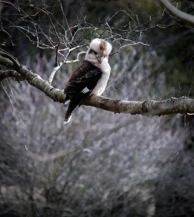 11. 2018_teawamutu_a020_nature_kookaburra