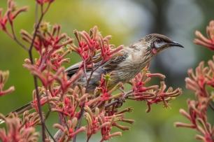 2. 2018_te awamutu_a008_nature_little wattlebird