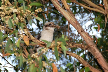 37_h_kookaburra with mouse