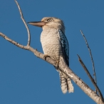 8. 2018_teawamutu_a015_nature_kookaburra