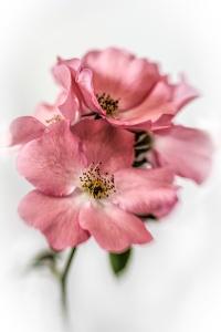 commended_carpet roses.jpg