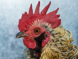highly commended chook portrait