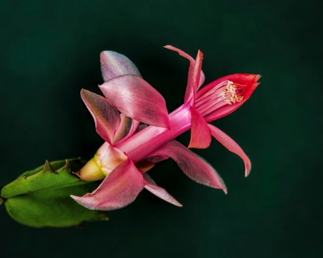 highly commended_cactus flower