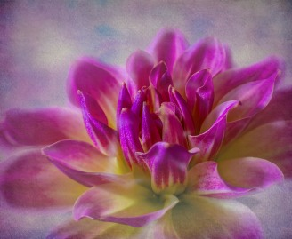 highly commended_dahlia