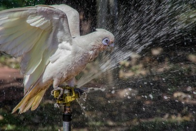 highly commended_little corella