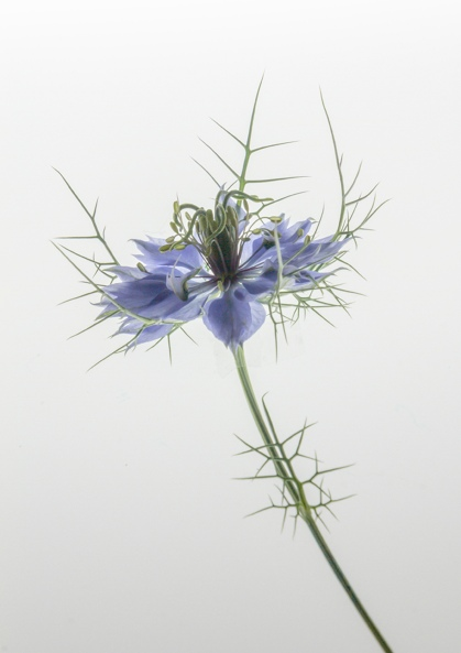 highly commended_love-in-the-mist