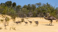 iconic australia_emus at the pinnacles wa
