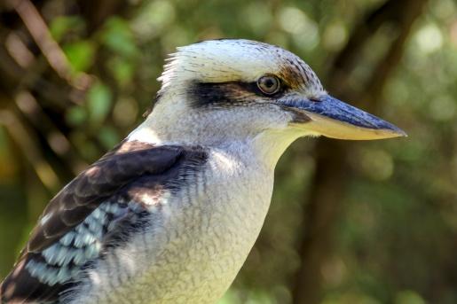iconic australiakookaburra