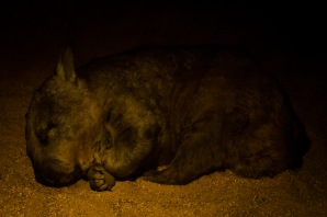 iconicaustralia_nappingwombat