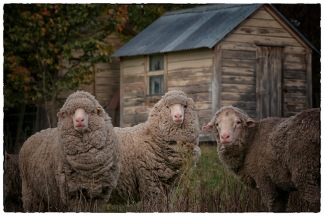 iconicnz0006.my three sheep