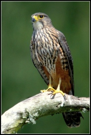 iconicnz0015, the new zealand falcon