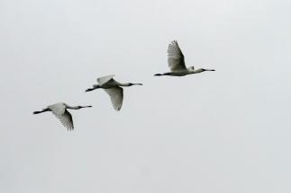 open019.spoonbills in flight