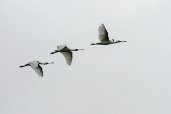 open019.spoonbills in flight