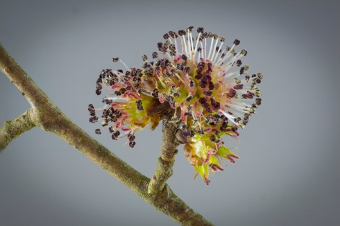 open_beech flower