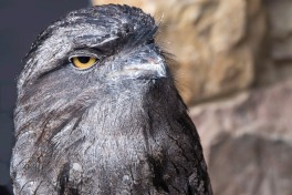 2019_04_AO45_Set Subject_Frogmouth Owl